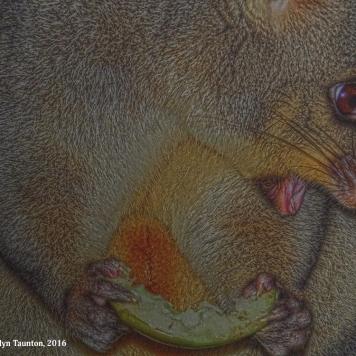 possum, mount gambier