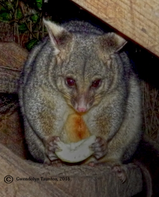Portrait, Possum