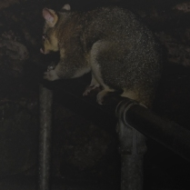 Cave Possum